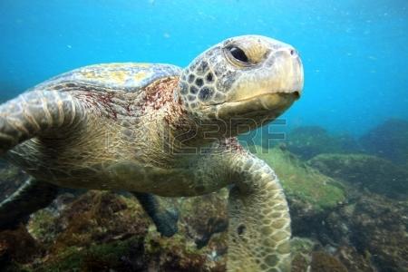 21617522-zeeschildpad-ontspannen-onderwater.jpg